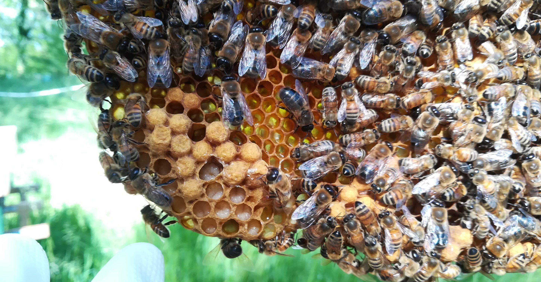 apicoltura urbana
